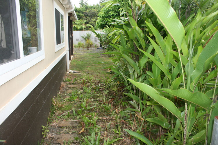 Overgrown Heliconia will need to be remove to create a nice pathway